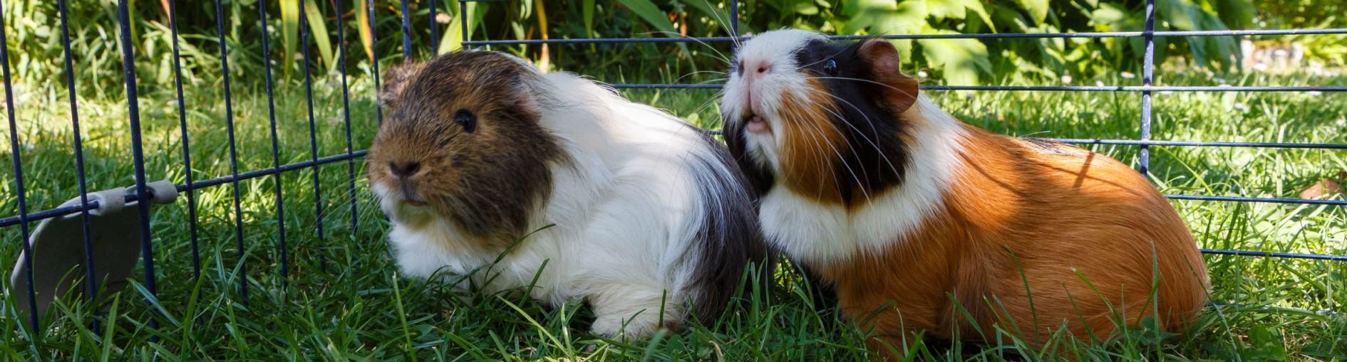 Four Legged Friends Petcare - Guinea Pig HEader.jpg