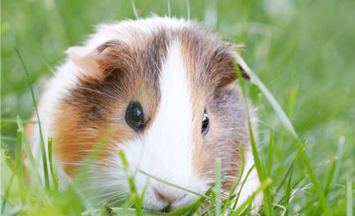 Four Legged Friends Petcare - guinea pig