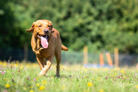 Four Legged Friends Petcare - running dog with tongue out.jpg