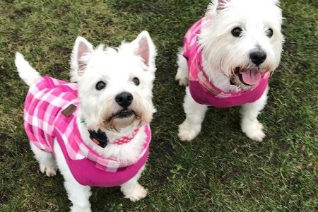 Four Legged Friends Petcare - two white Westies in pink coats.jpg
