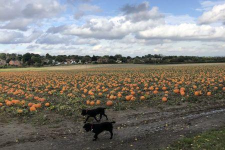 Four Legged Friends Petcare - 2 small dogs in pumpkin field.jpg