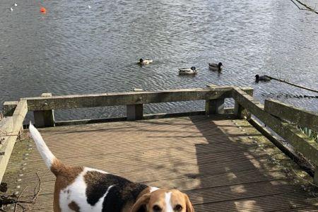 Four Legged Friends Petcare - beagle with ducks.jpg