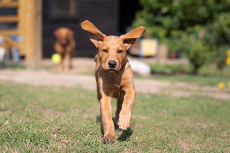 Four Legged Friends Petcare - gorgeous brown dog running ears flapping.jpg